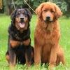 Бурят- монгольская собака; Хотошо, Банхар