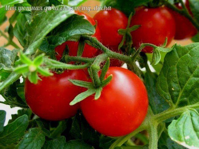 Полезные советы любителям томатов