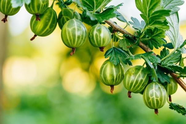 Самые сладкие сорта крыжовника для вашего сада  Крыжовник многие...