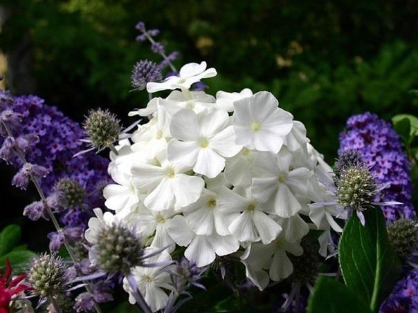 Флоксы. Семь способов размножения  Эти цветы дарят нам чудесный...