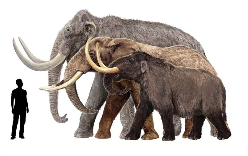 Сравнение размеров: Шерстистый мамонт (самый большой), африканский слон, карликовый мамонт