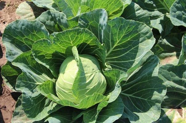 3 действенных совета, как спасти капусту от вредителей  Советы...