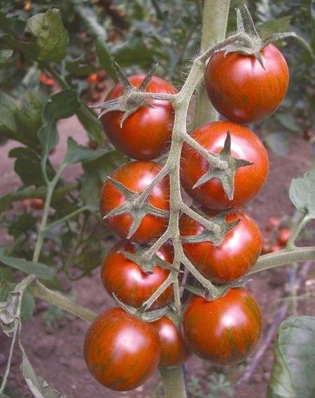 Выращиваем помидорную рассаду на молоке. Не зря говорят, что...
