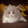 """Британские кошки котята  Питомник """"Area Sacra"""""""