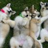 Питомник аляскинских маламутов Perro del Norte