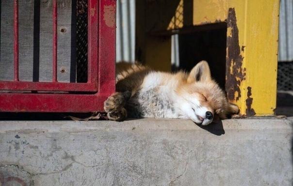 Лиса спит, она устала))