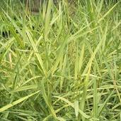 """Тростник обыкновенный,  Phragmites australis """"Variegatus"""", пестролистный"""