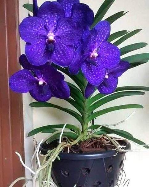 Великолепная Орхидея!