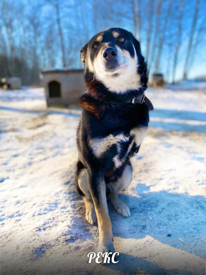 В добрые руки особенный трехлапый пёс РЕКС