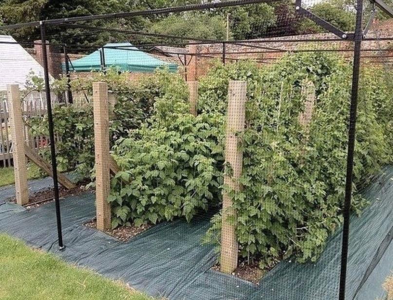 Как получить плодотворный урожай малины: