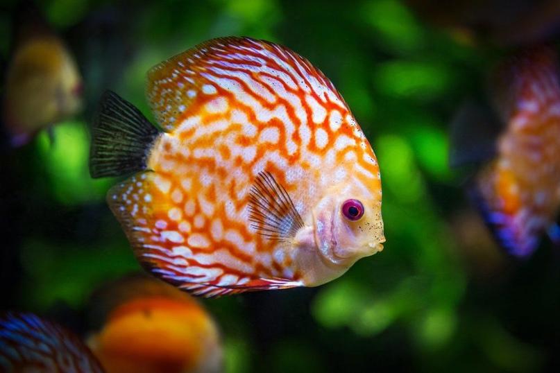Золотые рыбки: «Газпром добыча Оренбург» потратит на содержание аквариумов больш...