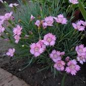 Гвоздика альпийская Розовая