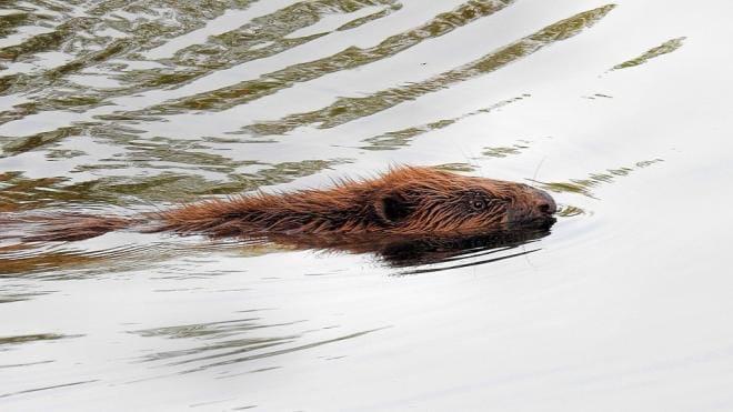 Осторожно, бобры: жителей Рыбацкого попросили опасаться прыгающих на полтора метра животных