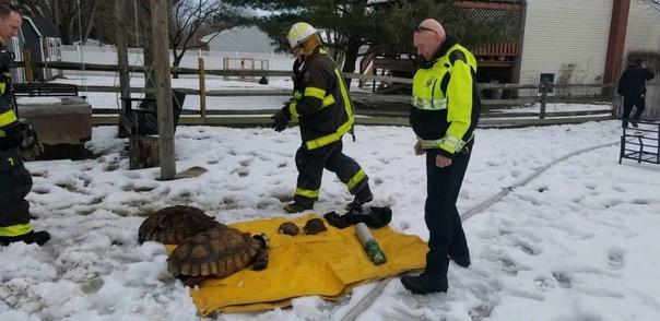 Пожарные в штате Огайо спасли нескольких черепах из...