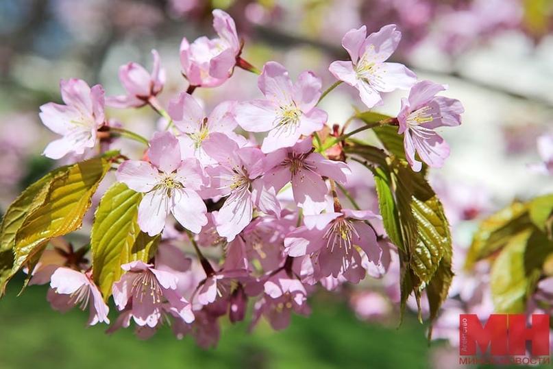 В Минске зацвела сакура. Где можно понаблюдать за вишней в цвету (фото)