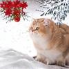 Британские кошки и котята Британцы