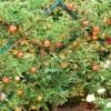 Обрезка плодовых деревьев +7(495)642-38-90