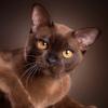 Бурма, кошки, котята