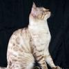 Бенгальские кошки - монопородный питомник