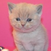Британские котята для детей.Plush Blue Ray.