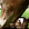 РЕПРОВЕТ - ветеринарные препараты для коров