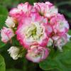 Цветочный городок-пеларгонии и другие цветы