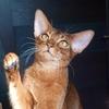 Абиссинские кошки и котята питомника Эверхил СПб